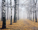 Pathway in deeply mist autumn birch park