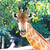 Closeup portrait of giraffe