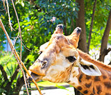 Giraffe eating twigs