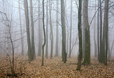 Mist autumn forest