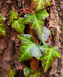 Ivy (common ivy, English ivy, European ivy)