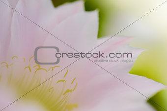 Closeup Image of Pink Cactus Flower
