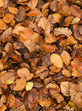 Golden beech tree leaves on ground in Autumn
