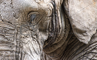 Close up facial portrait of African Elephant Loxodonta Africana