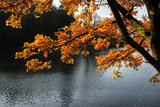 Stunning backlit Autumn golden tree with lake in background