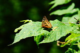 Butterfly Sitting on a Leaf in the Woods