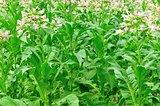 tobacco leaf plant