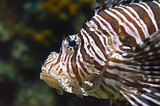 Lionfish, Beautiful sea fish