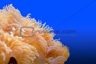 Anemones, organism of the sea.