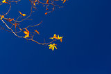 Maple twigs on blue sky background