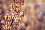 Rowanberry background