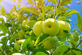 Apple fruits background