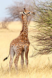 Young cute giraffe in Etosha national Park