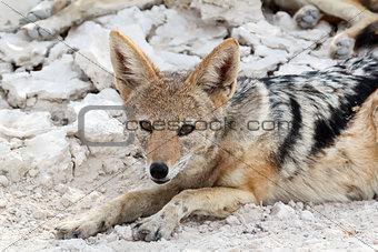 black-backed jackal (Canis mesomelas) lying in Etosha park