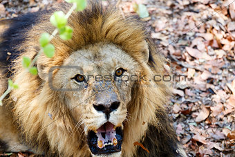 Portrait of Lion with open mouth shoving big teeth.