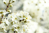 Blossoming tree in spring with very shallow focus