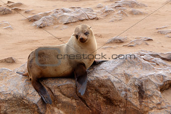 Small sea lion - Brown fur seal in Cape Cross, Namibia