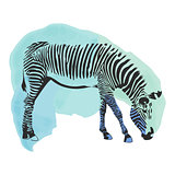 Colorful watercolor zebra cover. Abstract blue and green background