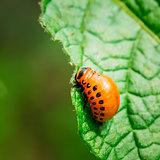Macro Shoot Of Potato Bug On Leaf
