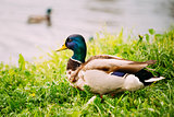 The Duck On Green Grass