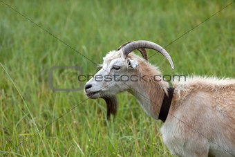 Green meadow and portrait of goat