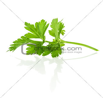 Branch of fresh parsley with reflection on isolated white backgr