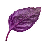 purple basil leaf on isolated white background