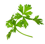 sprig of parsley is isolated on white background