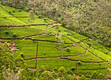Tea plantation. Sri Lanka