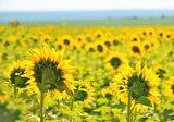 Filed of sunflowers