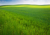 Green field in spring