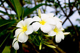 Phumeria flower