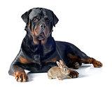 European rabbit and rottweiler