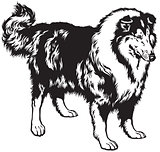 collie black white