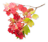 Viburnum On A Branch With Leaves