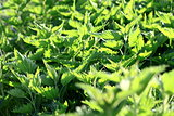 Green fresh nettles background