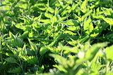 Green fresh nettles background