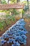 Cabbage vegetable in backyard garden