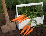 Harvest of fresh carrot