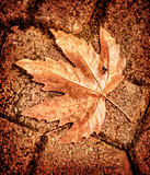 Maple leaf on brick wall
