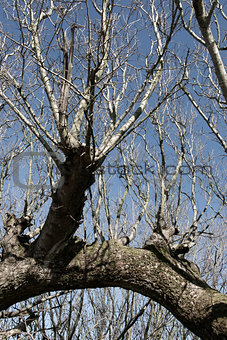 old bare tree branches