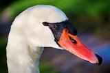 Mute swan portrait (Cygnus olor)