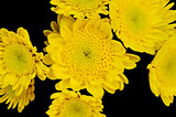 Yellow flowers isolated on black
