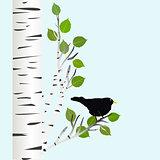 Blackbird on a birch branch