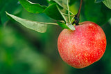 Fresh Red Apples On Apple Tree Branch