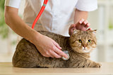 Veterinary doctor with british cat in clinic