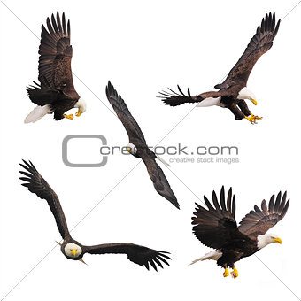 Five bald eagles isolated on white background.