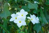 White Plumeria Pudica
