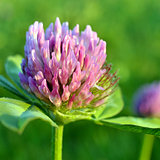 Red clover.