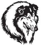collie head black white